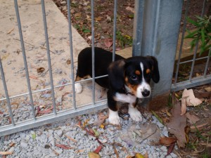 puppy-stuck-in-the-fence-big